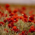 Summer Poppy Meadow by Nailia Schwarz