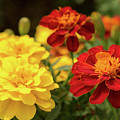 Tagetes Patula Fully Bloomed French Marigold At Garden In Octob by Eiko Tsuchiya