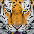 Tiger by Shaun Wilkinson
