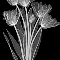 Tulips, X-ray by Ted Kinsman