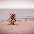 York Dog Playing On The Beach. by Peter Lakomy