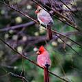 7440-008 Cardinal by Travis Truelove