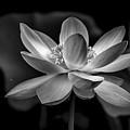 The Big Flower by Francisco Gomez
