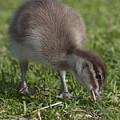 Duckling by Masami Iida