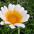 Australia - White Yellow Daisy Flower by Jeffrey Shaw