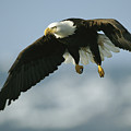 An American Bald Eagle In Flight by Klaus Nigge