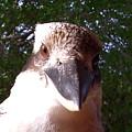 Australia - Kookaburra Stickybeak by Jeffrey Shaw