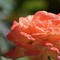 Beautiful Rose  by Ruth Housley