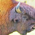 Bison by Anna J Davis