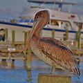 8- Brown Pelican by Joseph Keane