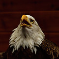 Eagle  by Mark Madion