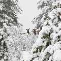Elk In Deep Snow In The Pike National Forest by Steve Krull