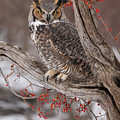 Great Horned Owl by Cindy Lindow