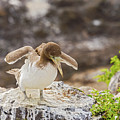 Juvenile Nazca Booby In Galapagos by Marek Poplawski