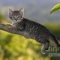 Kitten In A Tree by Jean-Louis Klein & Marie-Luce Hubert