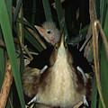Least Bitterns On Nest by Mark Wallner
