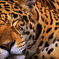 Leopard by White Stork Gallery