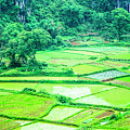 Rice Fields Scenery by Carl Ning