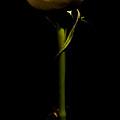 Single Rose by Avril Christophe