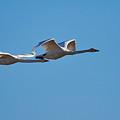 Whooper Swans by Jouko Lehto