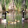 8132 - Canada Goose by Travis Truelove