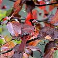 8624-001 - Northern Cardinal by Travis Truelove