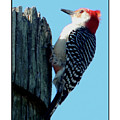 #8671 Woodpecker by Barbara Tristan