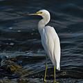 89- Snowy Egret by Joseph Keane