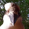 Australia - Kookaburra I'm Looking At You by Jeffrey Shaw