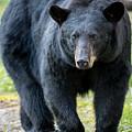 Black Bear    by Mary Jo Cox