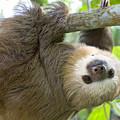 Hoffmanns Two-toed Sloth Choloepus by Suzi Eszterhas
