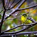 Img_0001 - Pine Warbler by Travis Truelove