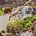 Juvenile Nazca Booby In Galapagos by Marek Poplawski