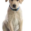 Labrador Puppy by Gunnar Orn Arnason