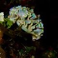 Lettuce Sea Slug by Nina Banks
