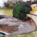 Mallard Duck by FL collection