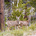 Mule Deer In The Pike National Forest Of Colorado by Steve Krull