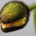 Poppy Bud by Robert Ullmann