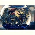 Siamese Fighting Fish by Melinda Sullivan Image and Design