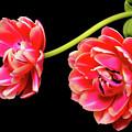 Tulip Floral Arrangement by Paul Moore