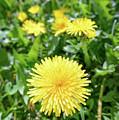 Yellow Dandelion Flowers by Alain De Maximy