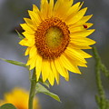 #933 D958 Best Of Friends Colby Farm Sunflowers Newbury Massachusetts by Robin Lee Mccarthy Photography