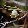 9343-00-ruby-crowned Kinglet by Travis Truelove