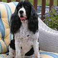 #940 D1034 Farmer Browns Springer Spaniel by Robin Lee Mccarthy Photography