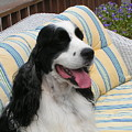 #940 D1066 Farmer Browns Springer Spaniel Happy by Robin Lee Mccarthy Photography
