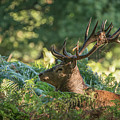 Majestic Powerful Red Deer Stag Cervus Elaphus In Forest Landsca by Matthew Gibson