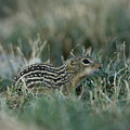 A 13-lined Ground Squirrel At The Henry by Joel Sartore