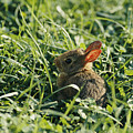 A Baby Cottontail Rabbit Sits Among by George F. Mobley