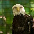 A Bald Eagle At The Lincoln Zoo by Joel Sartore