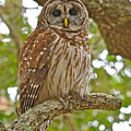 A Barred Owl by Don Mercer